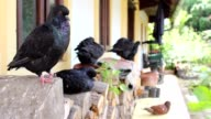 Pigeon birds in front of the house video