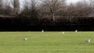 Pigeon Birds Walk / Hop Along on Green Grass Field video