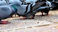 Pigeon eating grain video