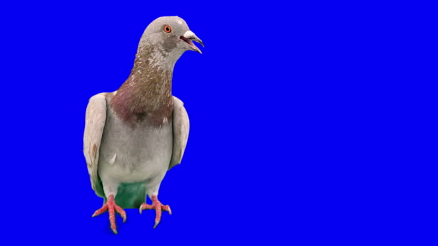 Pigeon excited and frightened video