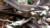 Pigeon feathers video