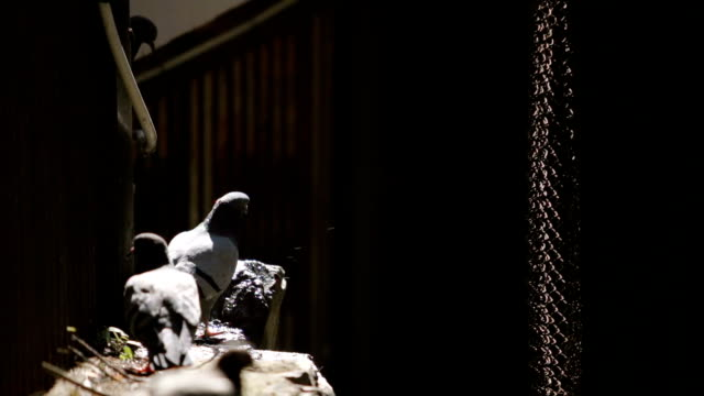SLOW MOTION: Pigeon flock drink a water video