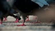 Pigeon Flock on Asphalt video