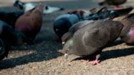 Pigeon Flock Pecks Grain on the Pavement video
