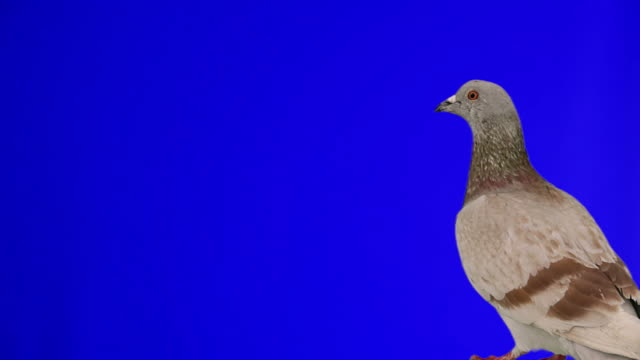 Pigeon flying into frame chroma key video