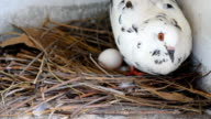 Pigeon hatching. video