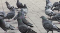 Pigeon in the city. video