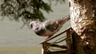 Pigeon jumps to fly. video