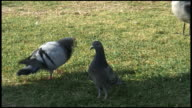 HD: Pigeon Love, Mating and Strutting video