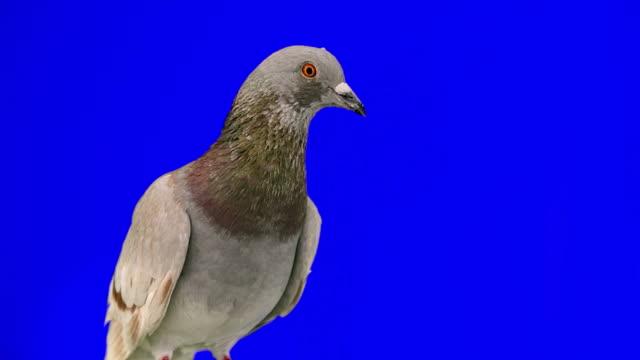 Pigeon on blue chroma key video