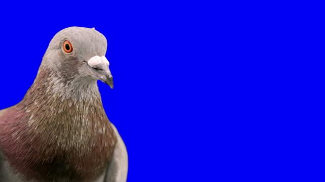Pigeon on chroma key close up video