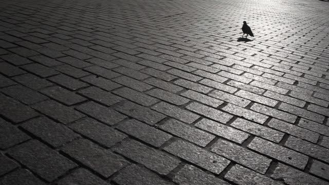 Pigeon on sunlit city bricks video