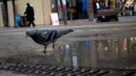 pigeon on the floor video