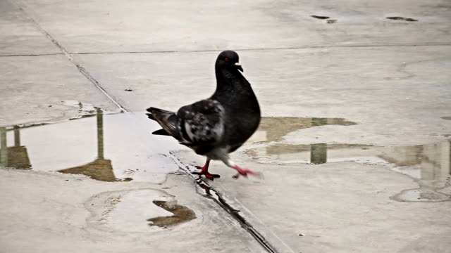 Pigeon on the ground video