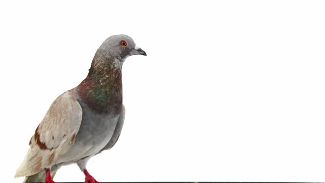 Pigeon on white background opens its beak video