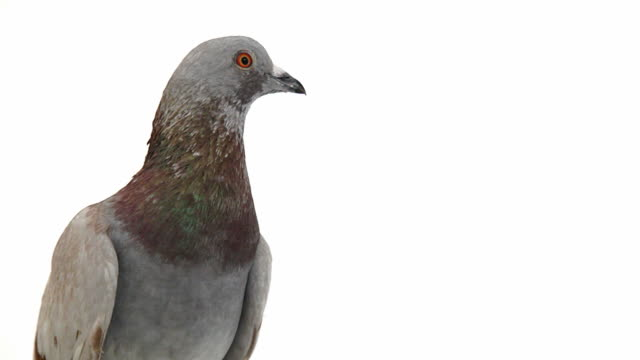 Pigeon on white background video