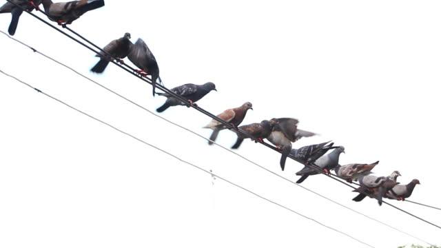 Pigeon video