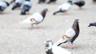 Pigeon video