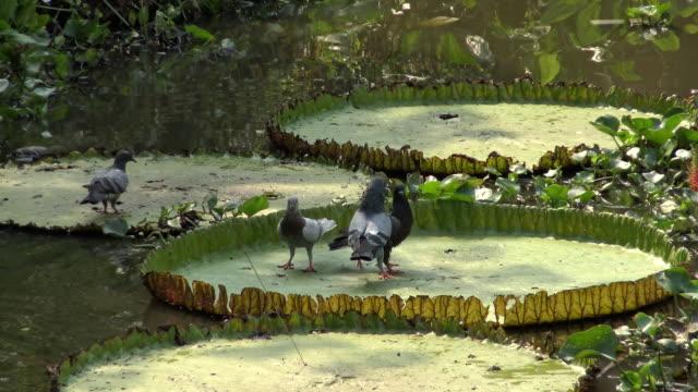 Pigeon walk on lotus leaf. video