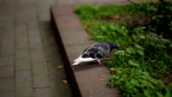 pigeon walks on pavement and flowerbeds video
