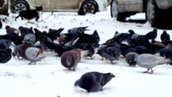Pigeons and a cat on the snow video