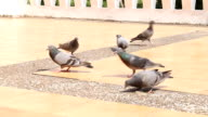 Pigeons are Eating Crumb video