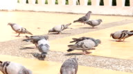 Pigeons are Eating Food video