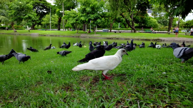 4K Pigeons are walking for food on the ground video