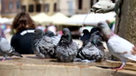 Pigeons Bathing in fountain video