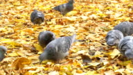Pigeons eat in the autumn Park video