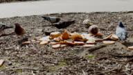 Pigeons eating bread video