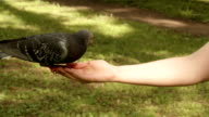 Pigeons eats from the hand. video