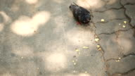 Pigeons feed on the ground. video