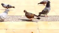 Pigeons Feeding by Crumb video