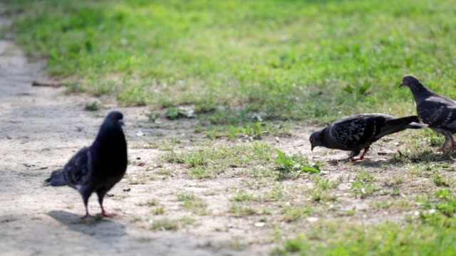 Pigeons feeding in the park video