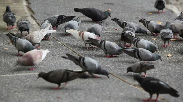 Pigeons Feeding video