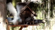Pigeons fighting over food in a manger. video