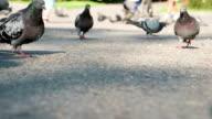 Pigeons Flock Seeing Food video