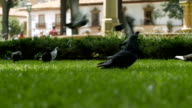 Pigeons fly off the green grass in slow motion video