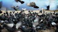 Pigeons flying video