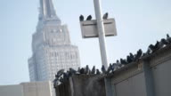 Pigeons in a bridge with the Empire State building in the background video