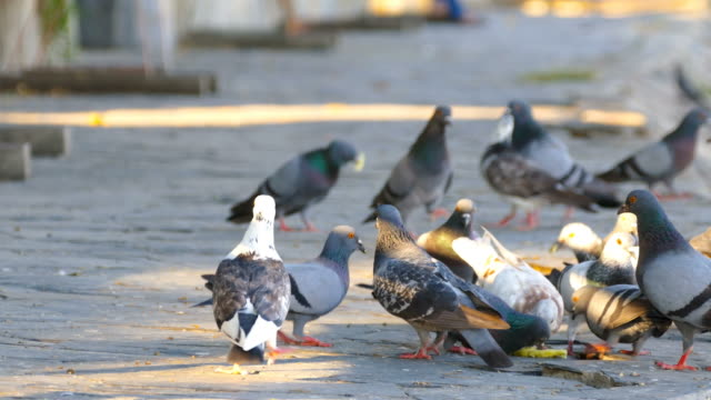 Pigeons in Public Park. Pigeons at Surin, Thailand. video