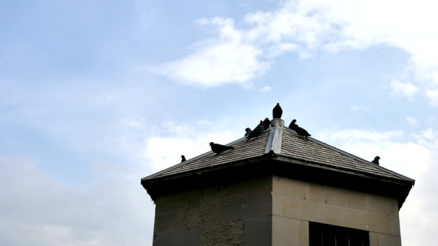 pigeons on roof video