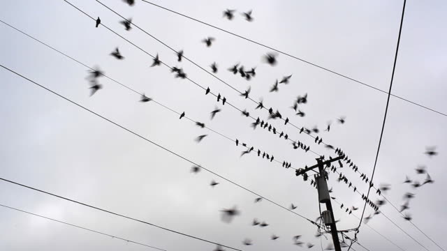 Pigeons on telephone wires video