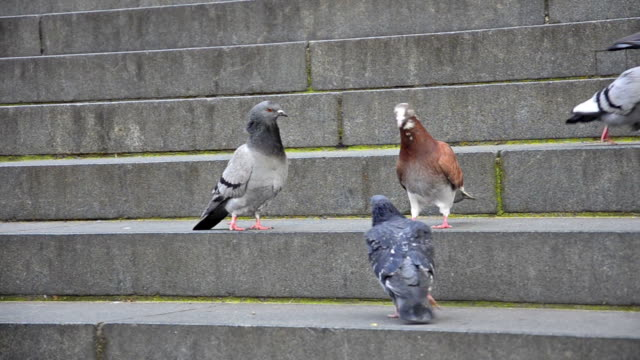 Pigeons on the church stairs video