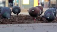 Pigeons on the city street video