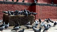 Pigeons on the Durbar Square in Kathmandu video
