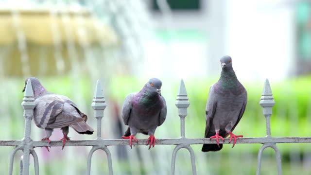 Pigeons on the steel rail video