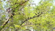 Pigeons on the Tree video
