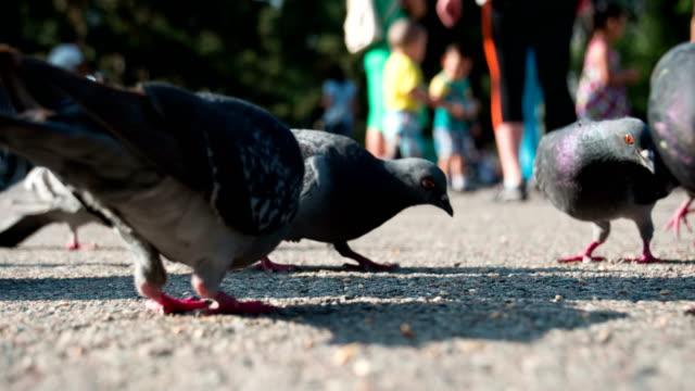 Pigeons Peck Grain on the Pavement video